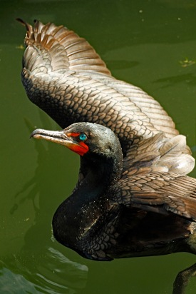 Cormorant Wing Stretch