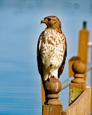 Immature Broad-winged Hawk 2