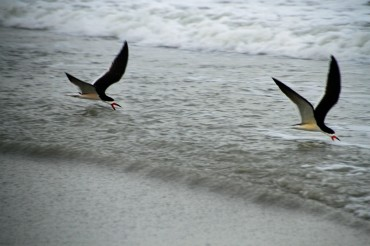 Cocoa Beach 2 skimmers skimming