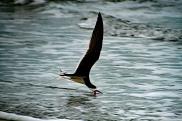 Cocoa Beach Skimmer Skimming Shallow