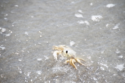 Ghos Crab in Water Cocoa Beach