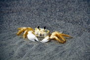 Ghost Crab from Cocoa Beach