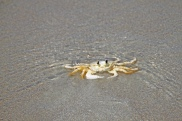 Ghost Crab in Water Cocoa Beach