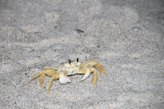 Ghost Crab Seashore 2