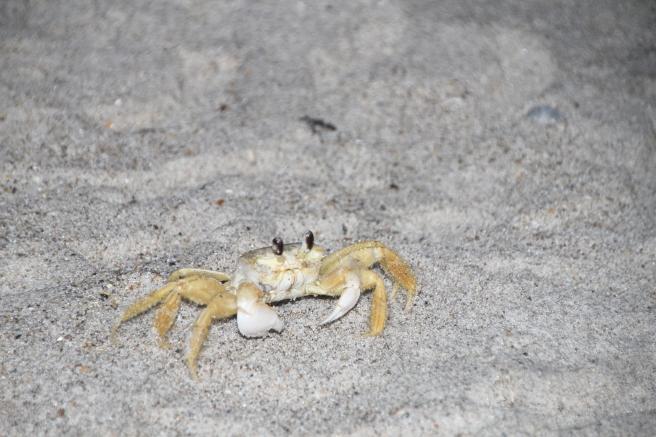 Ghost Crab Seashore 2
