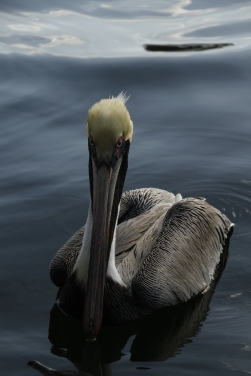 Pelican Head On