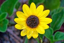 Bach Sunflower Close Up
