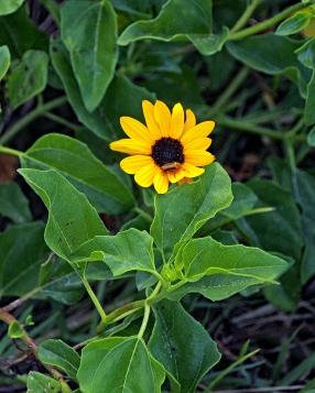 beach-sunflower