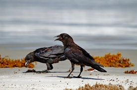 Crows on Beach P