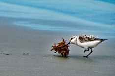 Sanderling and wrack