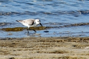 sanderling-at-waters-edge-ft-island