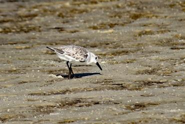 sanderling-ft-island