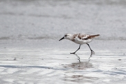 sanderling-in-waves