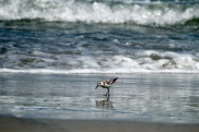 sanderling-in-waves