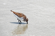 sanderling-in-waves-probing