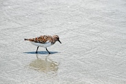 sanderlings-in-waves-running