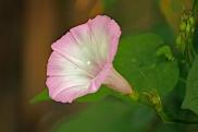 morning-glory-flower
