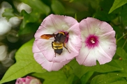 morning-glory-flower-with-bee