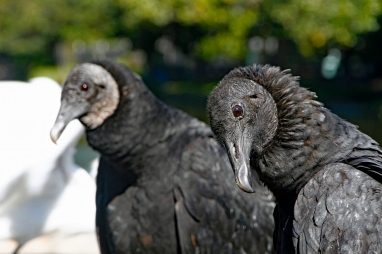 black-vulture-portrait-4