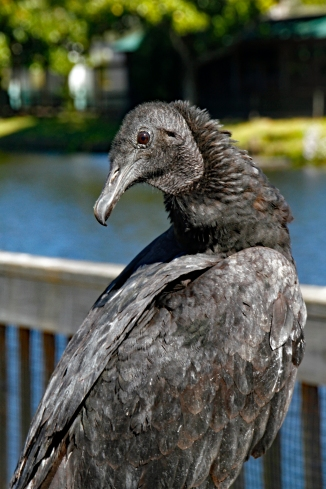 black-vulture-portrait-5