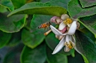 lemon-flowers-with-bee
