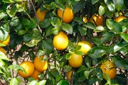 lemons-in-the-grove-2
