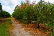 orange-grove-8