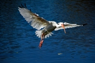 white-ibis-in-flight