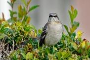mocking-bird-in-bush