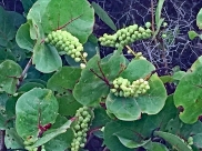 Sea Grape 4
