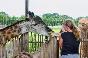Family Feeds Giraffe Close Up