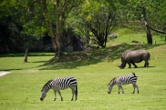 Zebras and Rhino