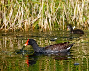 Gallinule Eating Condensed