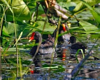 Gallinule Family Condensed