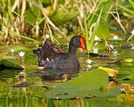 Gallinule Lake 4 Condensed