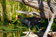 Gallinule on Log 3 Condensed