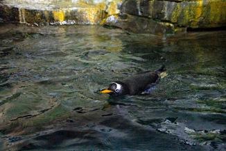 Gentoo Swimming 2