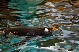 Gentoo Swimming 3