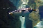 Gentoo Swimming