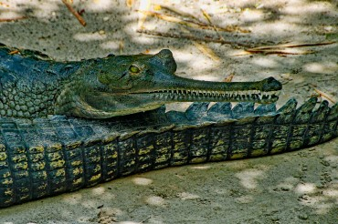 Indian Gharial cOMPRESSED