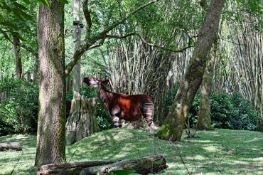 Okapi Disney 2