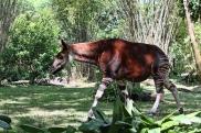 Okapi Disney 3