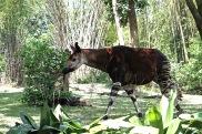 Okapi Disney 4