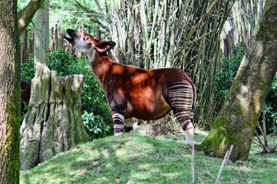 Okapi Disney