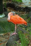 Scarlet Ibis 4 Compressed
