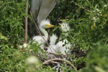 Baby egrets were left to starve to death when poachers killed the parents.