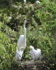 Egrets nest together in large colonies called rookeries making it easy for poachers to kill many birds at one time.