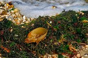 Horseshoe Crab in Seaweed