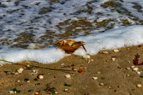 Horseshoe Crab Molt Being Washed Ashore