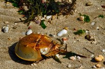 Horseshoe Crab Washed Ashore